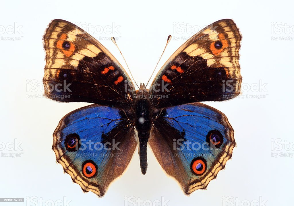 Nymphalid butterfly stock photo