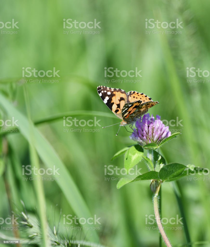 Nymphalidae on the prairie stock photo