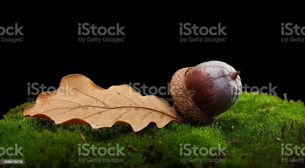 Oak abscissed leaf and acorn stock photo