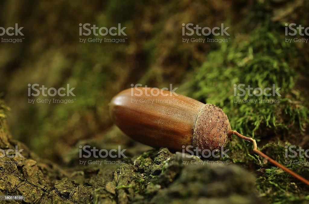 Oak acorn on mossy tree royalty-free stock photo