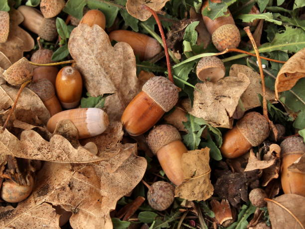 Oak acorns and leaves on the ground stock photo
