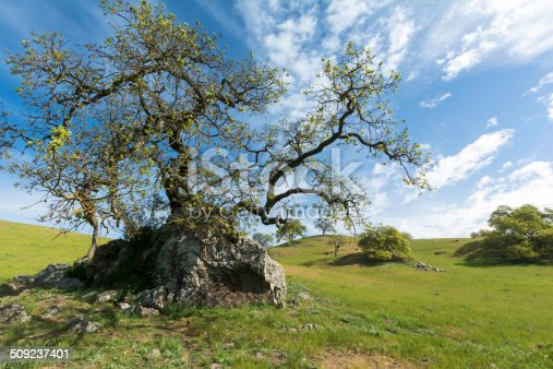 A blue oak tree grows out of a rock outcropping in ranchland of Santa Clara County