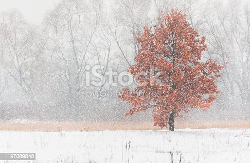 istock Oak And First Snowfall In Late Autumn. 1197089848