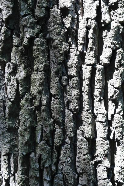 corteccia di quercia - gigifoto foto e immagini stock