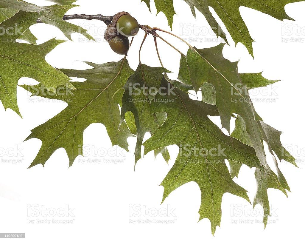 oak branch stock photo