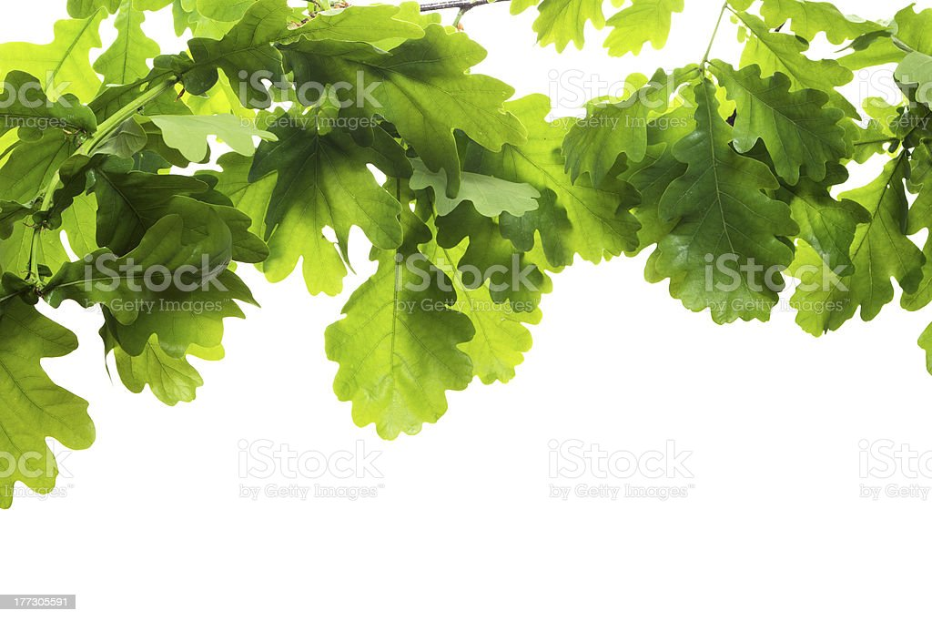 Oak branch stock photo