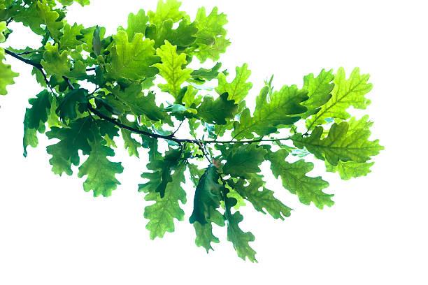 oak branch  - eichenblatt stock-fotos und bilder