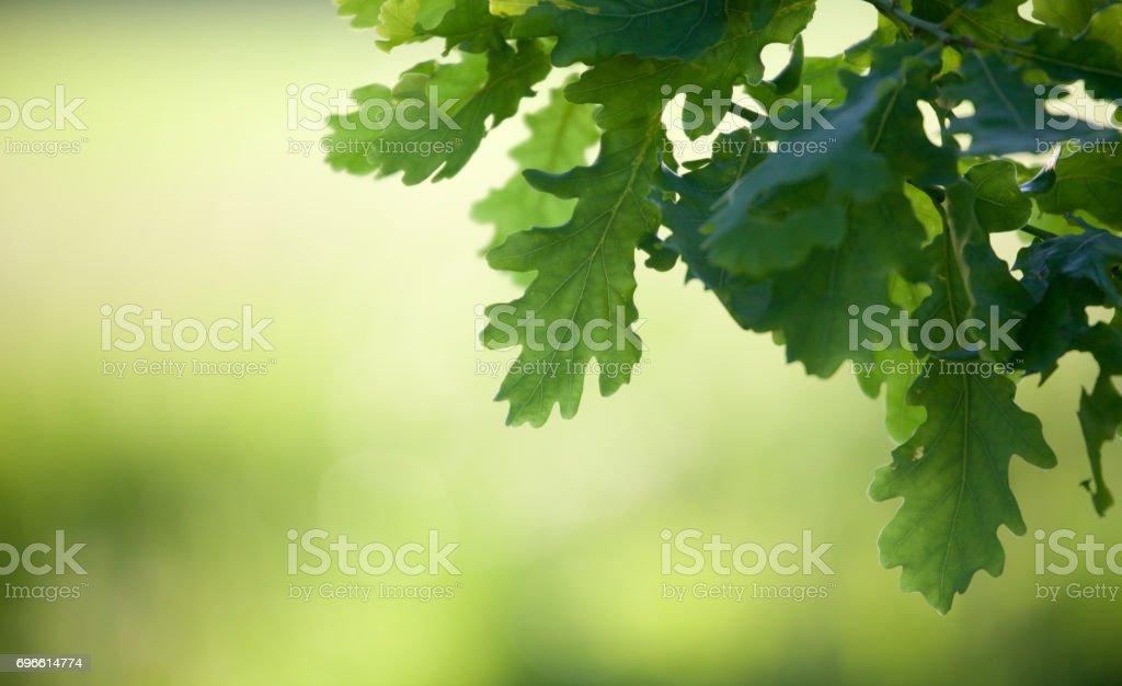 Oak branch – Foto