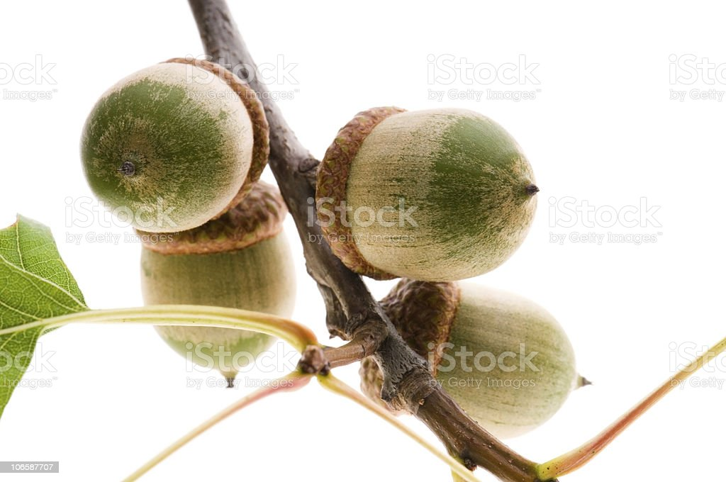 Oak Branch with Acorns isolated on white royalty-free stock photo