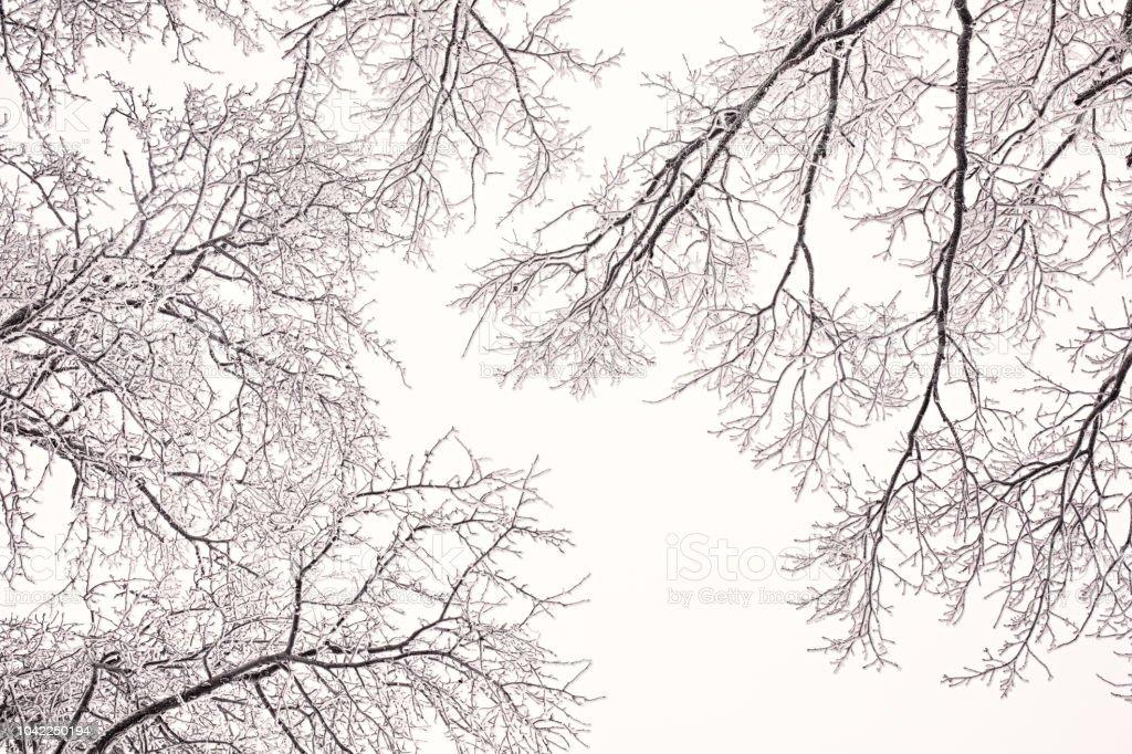 Ramas de roble cubren de escarcha contra el cielo azul en un día claro de invierno - foto de stock
