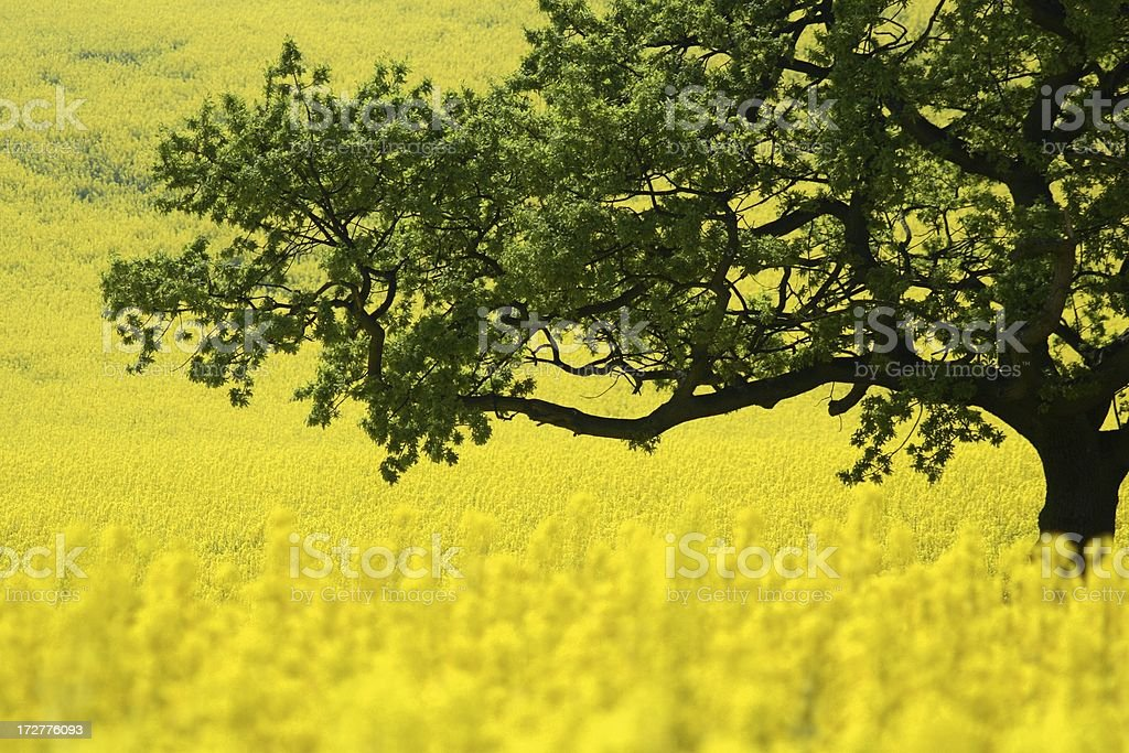 Oak branches over striking field of yellow oilseed stock photo