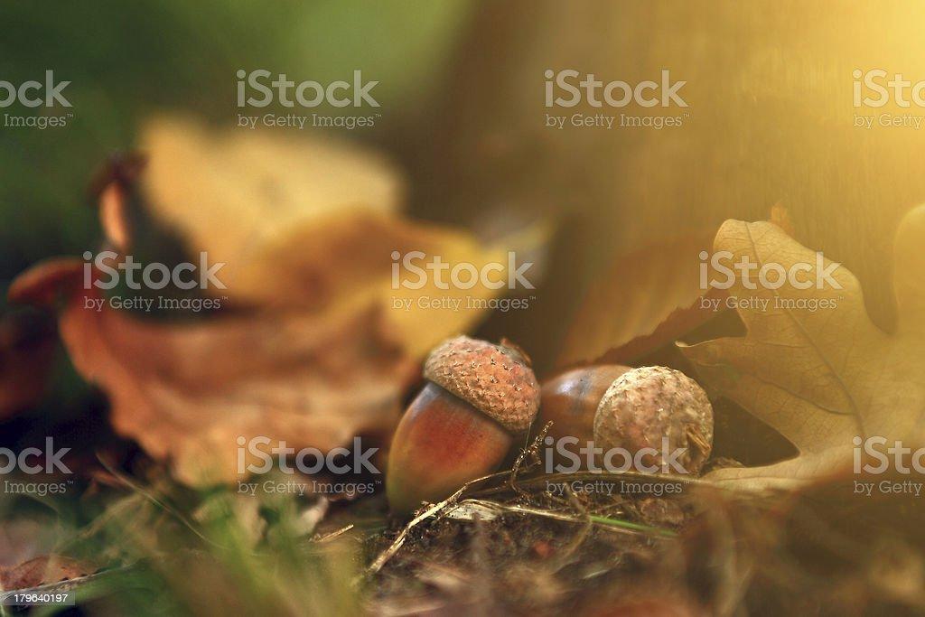 Oak close up in autumn foliage royalty-free stock photo