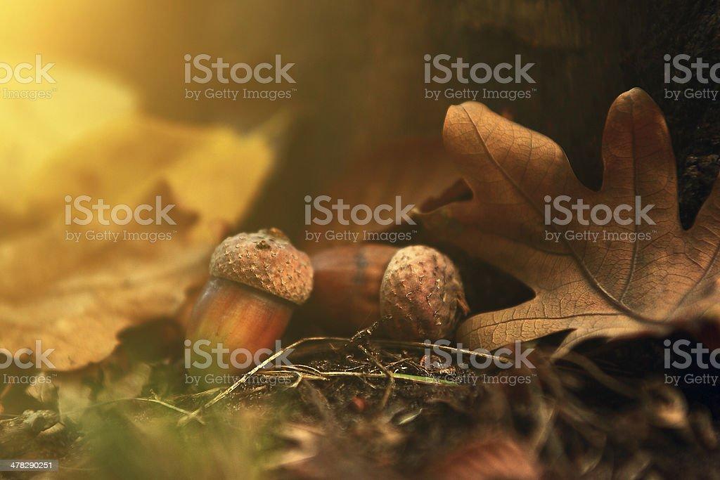 Oak close up no Outono de floricultura - fotografia de stock