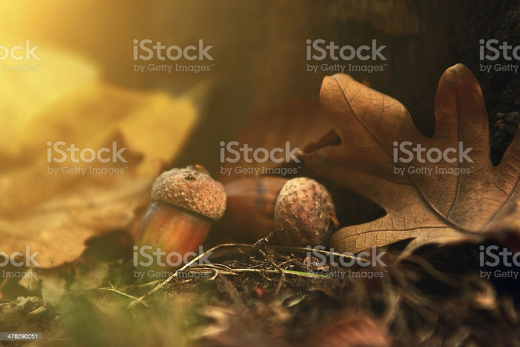 Oak close up in autumn foliage stock photo