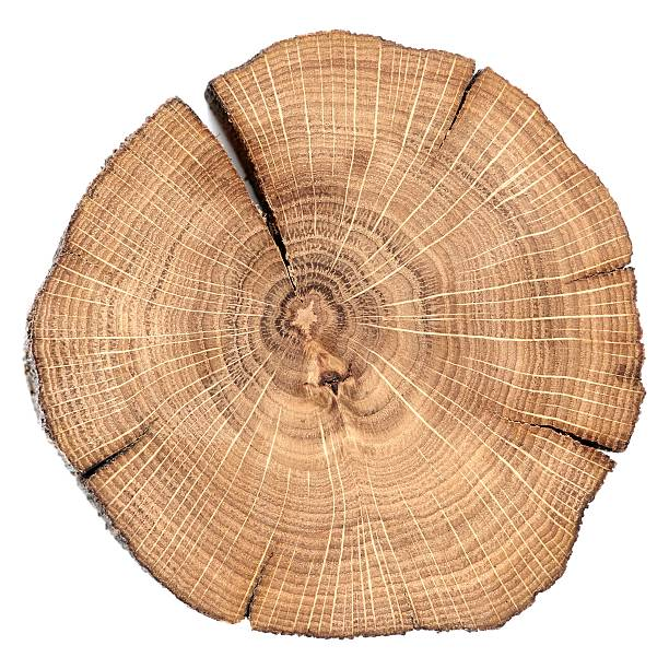 Oak cracked split with growth rings isolated stock photo