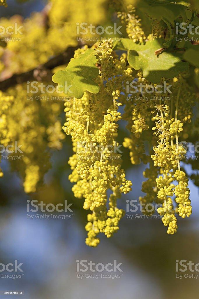 oak flower stock photo