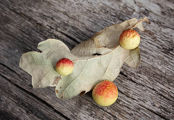 Oak gall stock photo