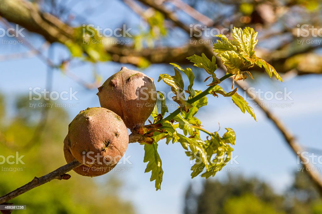 Oak galls stock photo