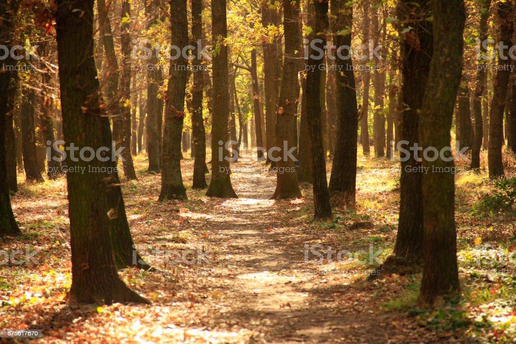 Oak grove in autumn sunlight stock photo