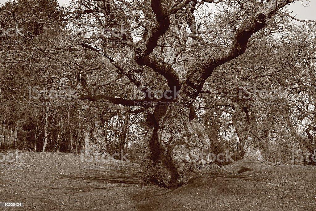 Oak Grove in Sepia royalty-free stock photo