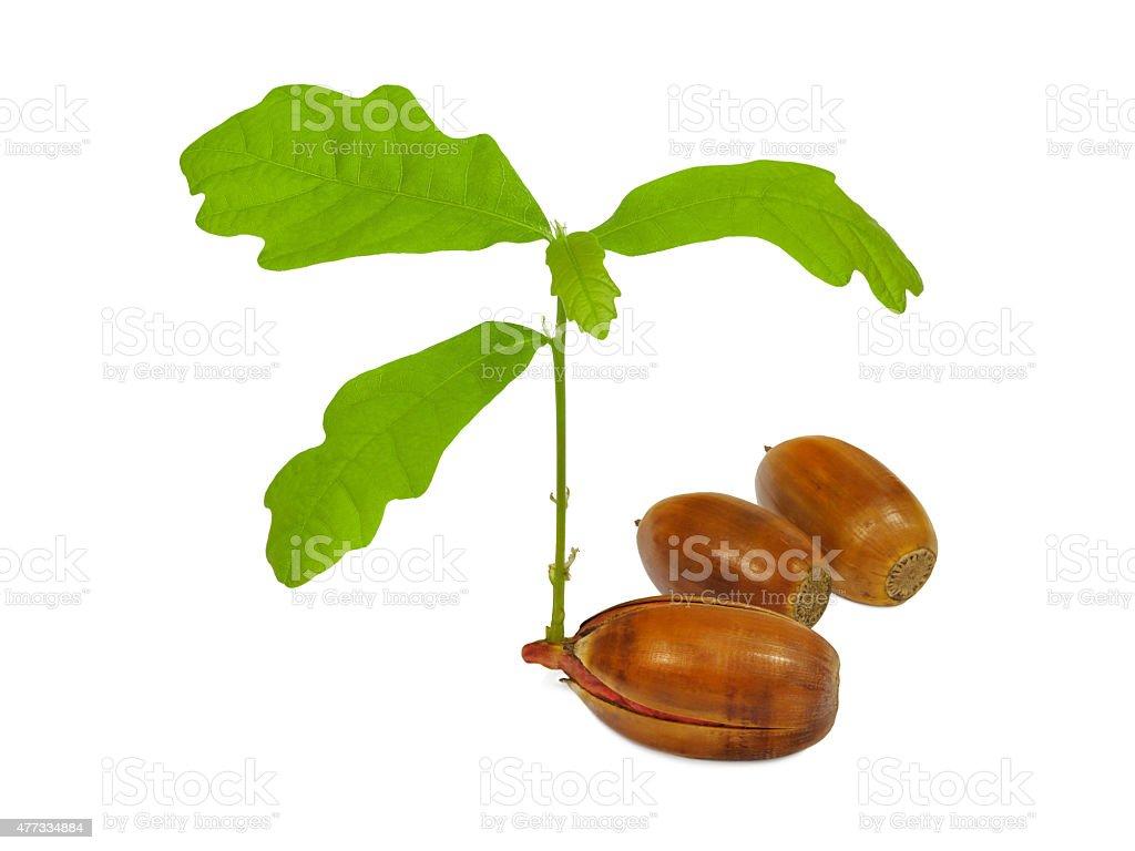 Oak growing from acorn stock photo