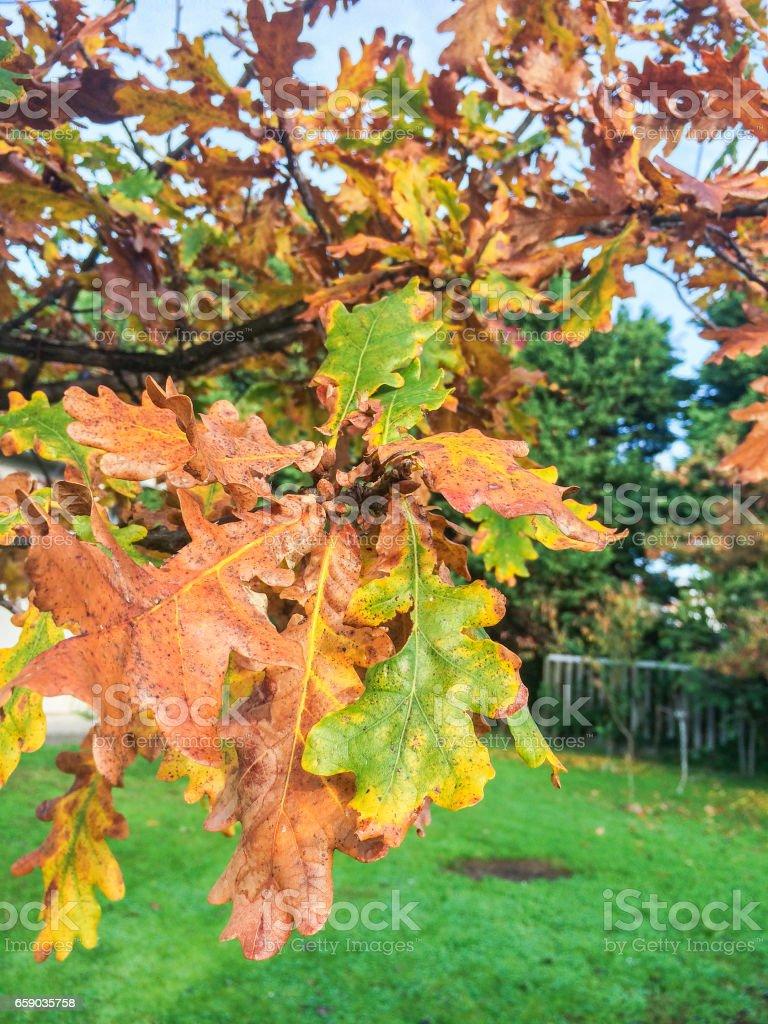 Oak in autumn royalty-free stock photo