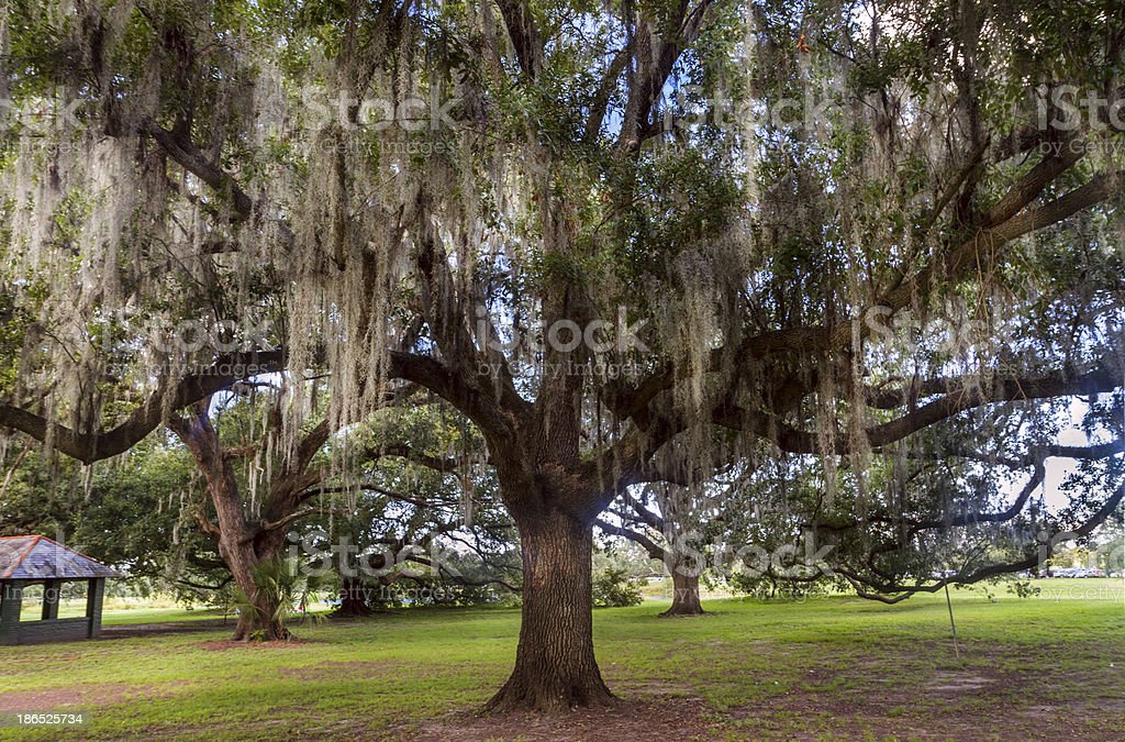 Oak in city park, New Orleans royalty-free stock photo