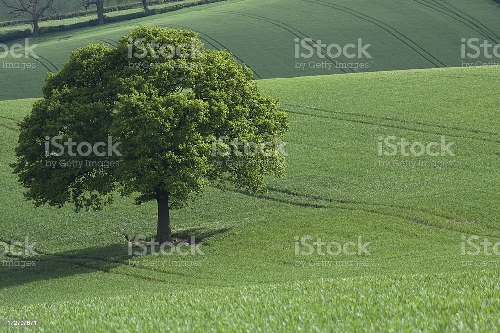 Oak in green fields stock photo
