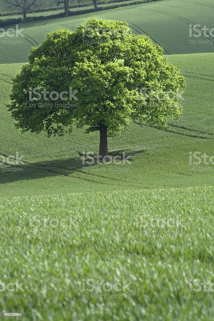 Oak in rolling fields stock photo