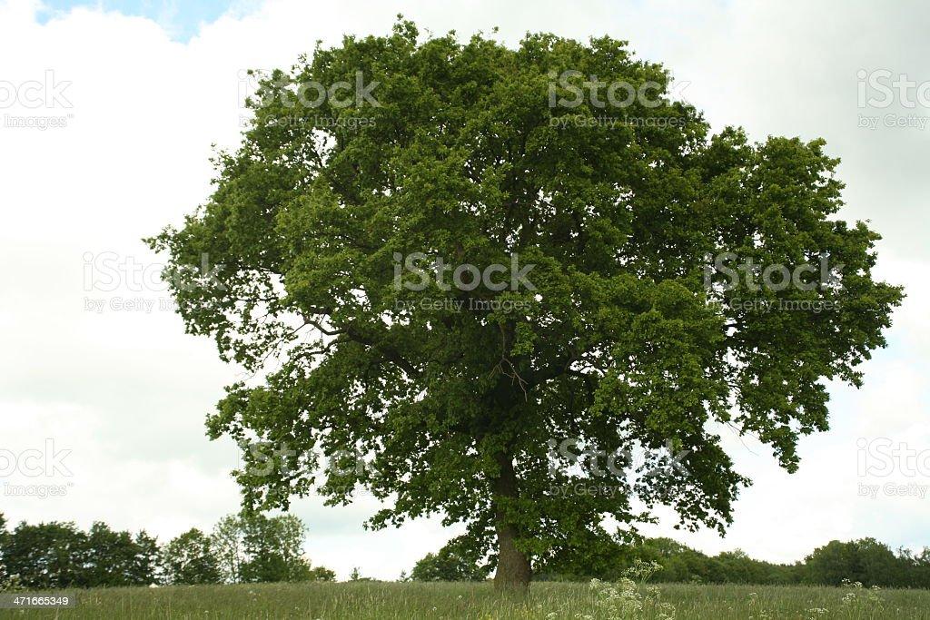 Oak in Sommer stock photo