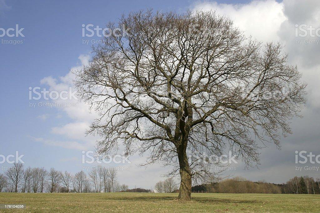 Oak in Spring stock photo