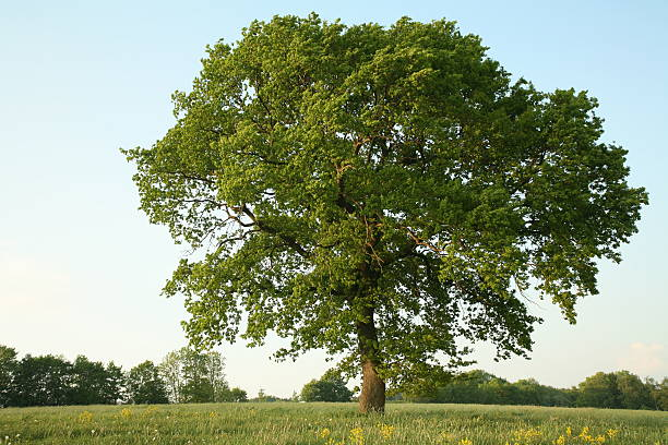 Oak im Sommer – Foto