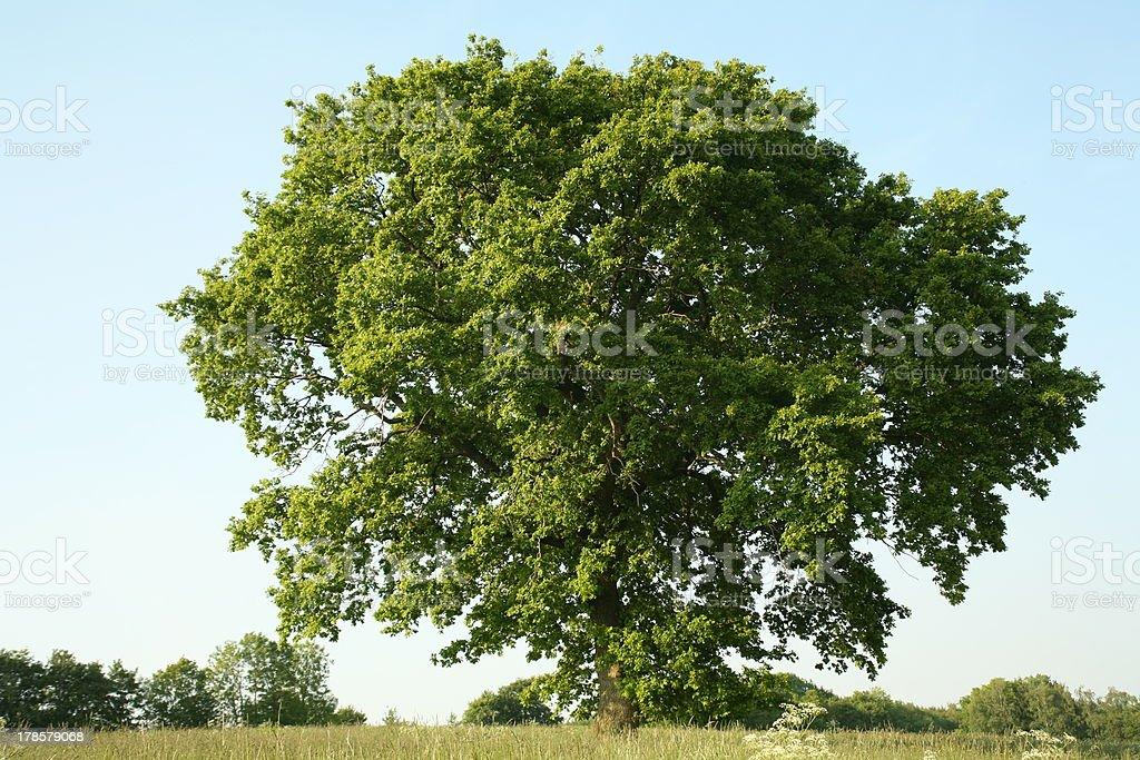 Oak in summer stock photo