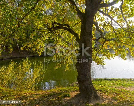 Oak  in the backlit. The shore of the pond in the Teplostanovsky forest park. End of September. Moscow, Russia