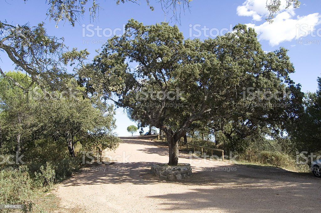 Oak in the middle of a road royalty-free stock photo