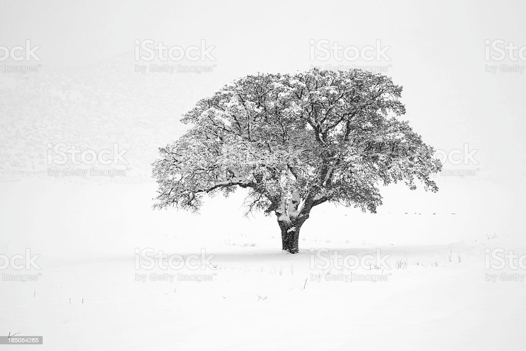 Oak In The Snow royalty-free stock photo