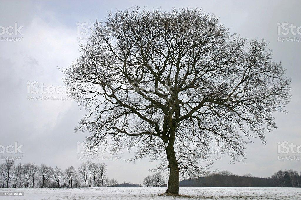 Oak in winter stock photo
