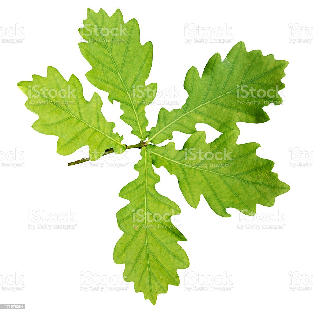 Oak leaf branch with clipping path isolated on white royalty-free stock photo
