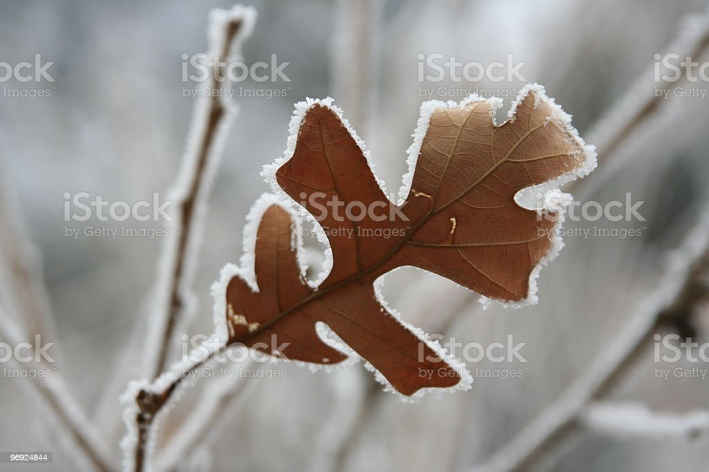 Oak leaf covered with frost royalty-free stock photo
