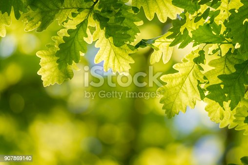 Oak tree leaves close up.