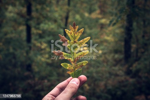 Oak leaf held by hand in autumn in the forest
