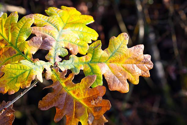 Oak Leaf in Autumn stock photo