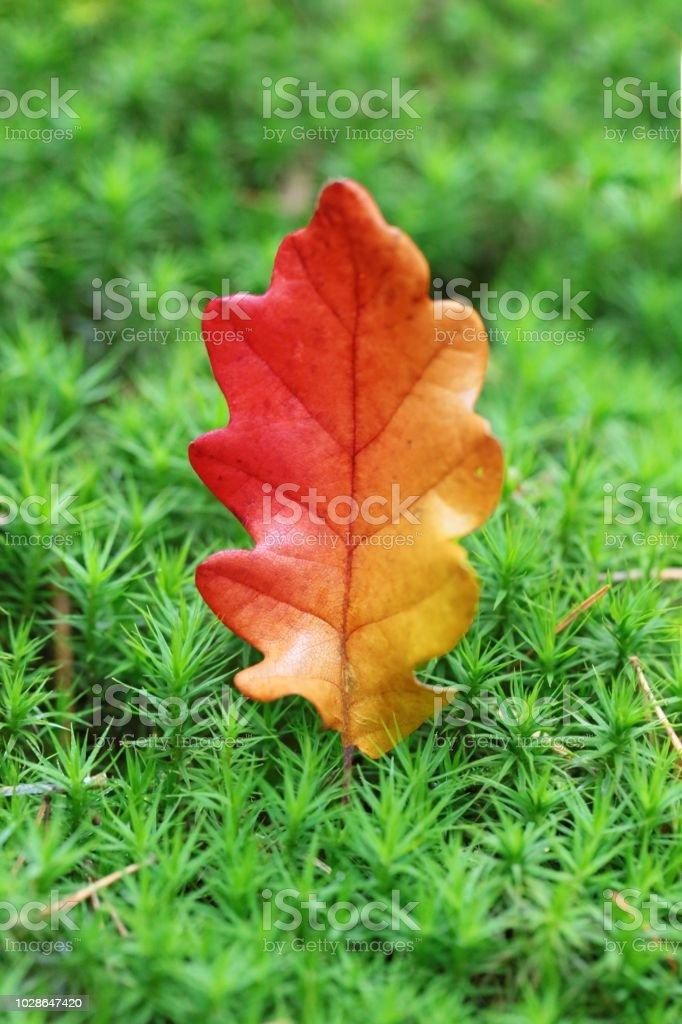 Oak leaf in moss. Bright orange autumn oak leaf in bright green grass