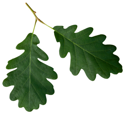 Two attached oak leaves isolated on white with a clipping path.