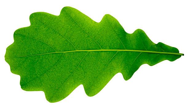 oak leaf isoliert - eichenblatt stock-fotos und bilder