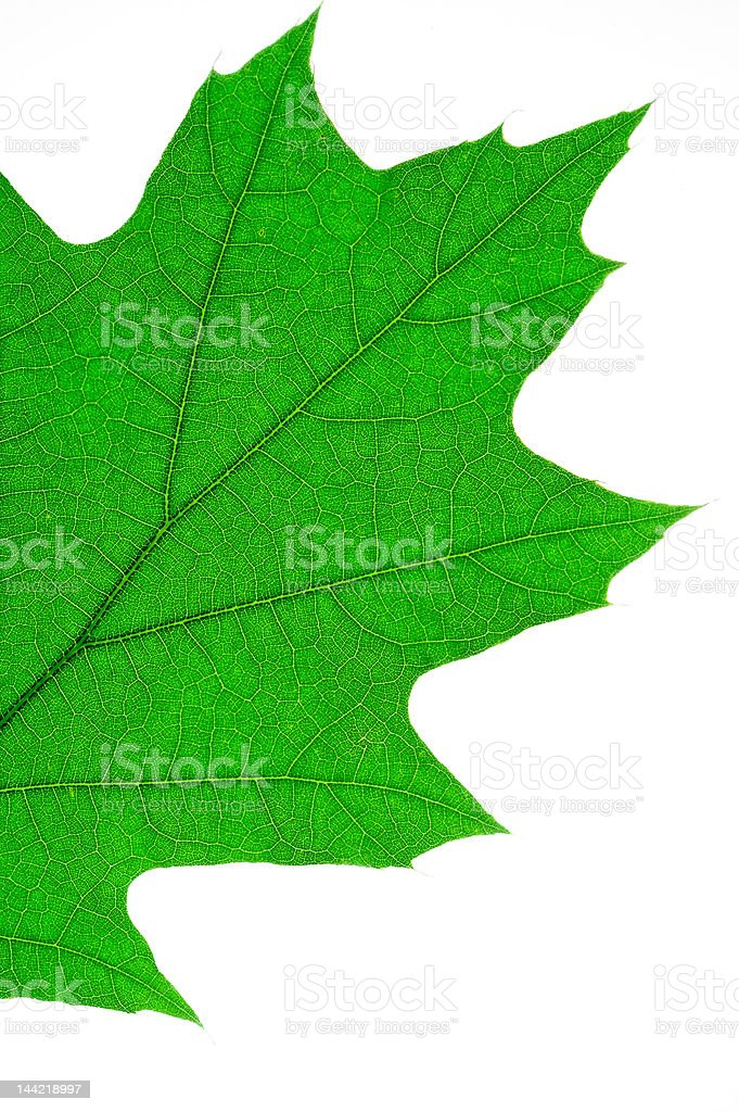 Oak leaf macro (1) royalty-free stock photo