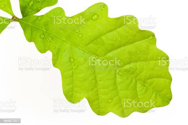 Photo of Oak Leaf Macro