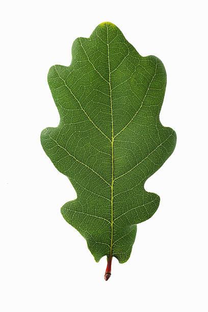 oak leaf auf weißem hintergrund. - eichenblatt stock-fotos und bilder