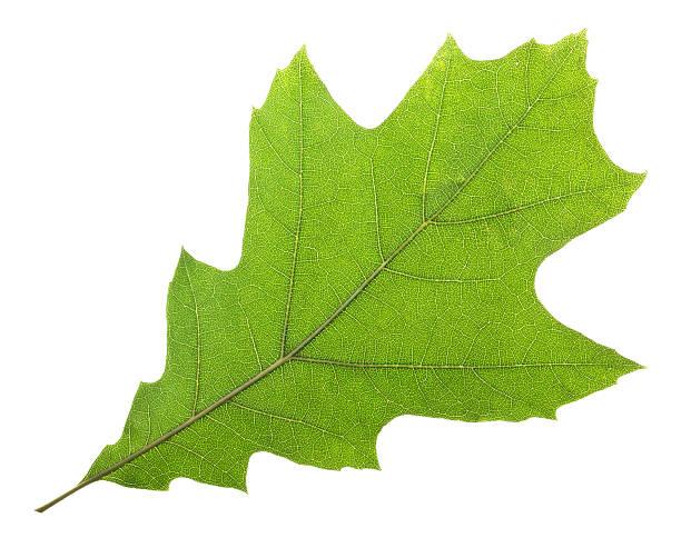 oak leaf (quercus rubra) - xxmmxx stock photos and pictures