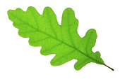 Oak leaf (Quercus robur)